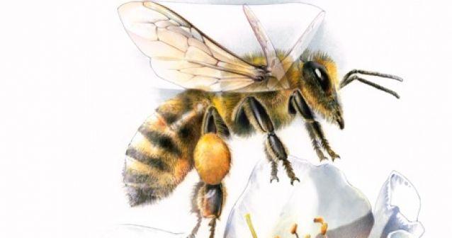Cómo aletean las abejas