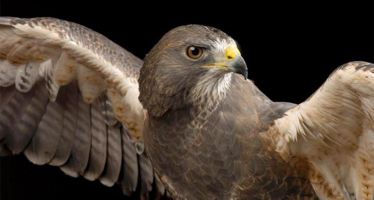 Cómo recuperan las aves heridas su plumaje