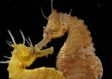 Caballitos de mar: romance y extraños rituales de apareamiento