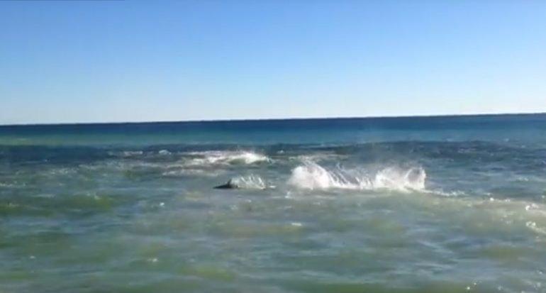 Captan frenesí alimenticio de tiburones en Florida