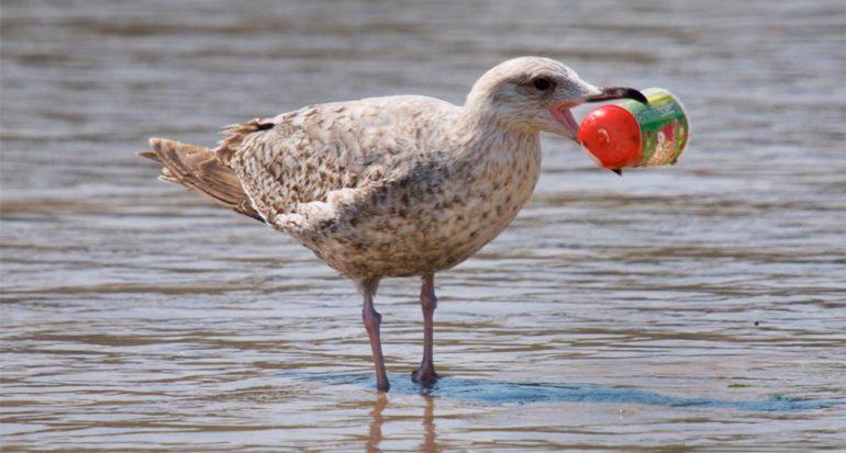Casi todas las aves marinas del mundo comen plástico