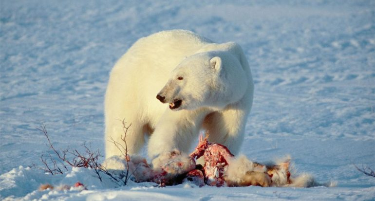 Cena de amigos: porqué algunos animales se vuelven caníbales