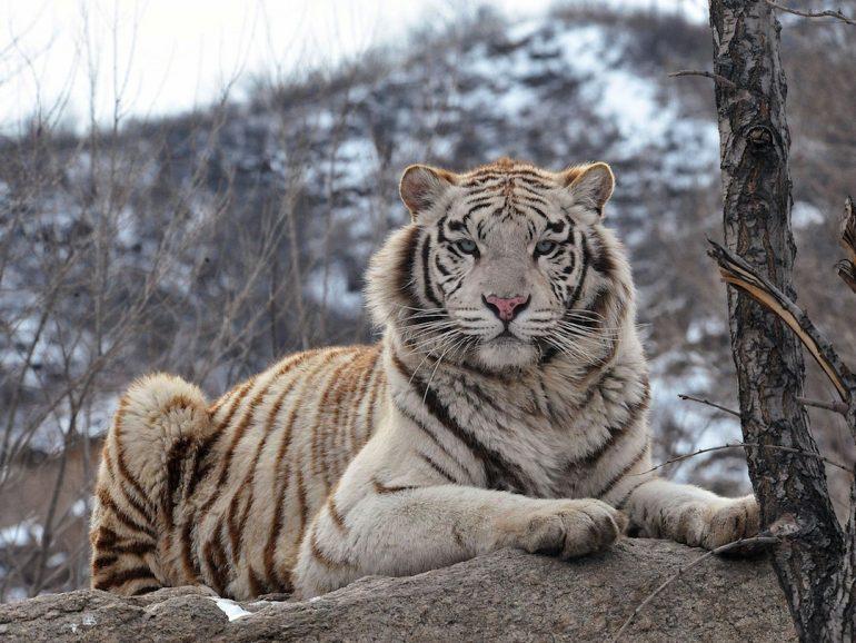 Censo de tigres de bengala