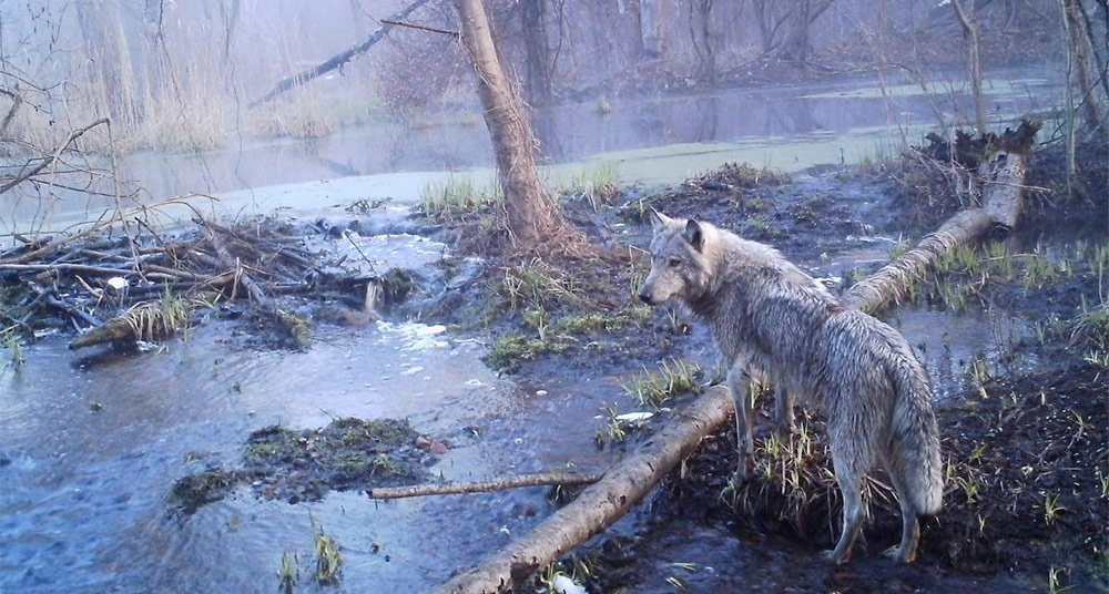 Chernóbil y otros lugares donde la fauna prospera sin personas