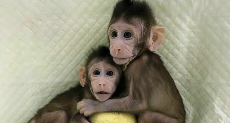 Científicos chinos crean los primeros clones de primates