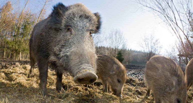 Comer como cerdo ya no es insulto
