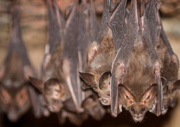 Contacto con murciélagos
