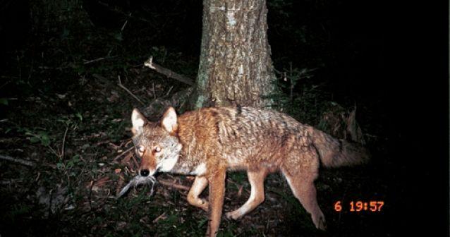 Coyolobos: Nuevas bestias en Canadá