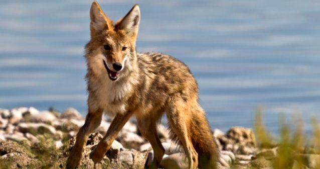 Coyote: el can con mejor adaptación
