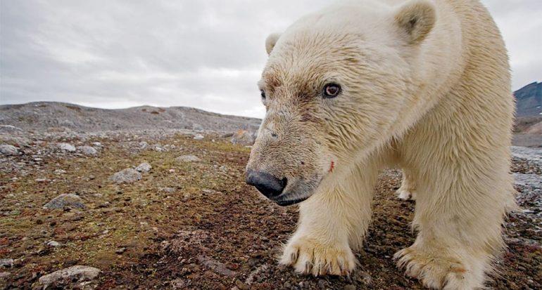 Cuatro estrategias de los osos polares