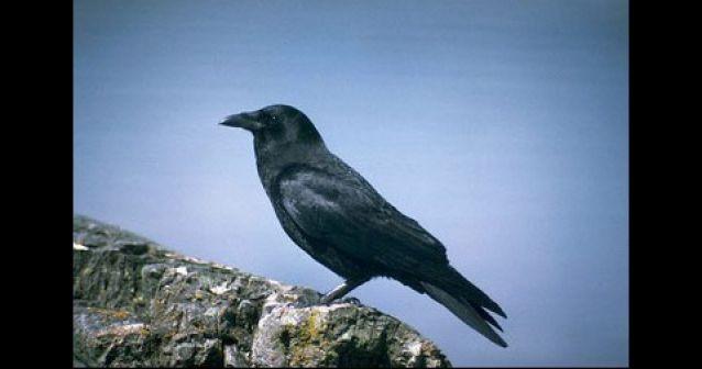 Cuervos: tan inteligentes como los humanos