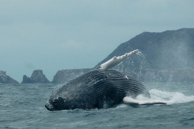 De ballenas y helicópetros