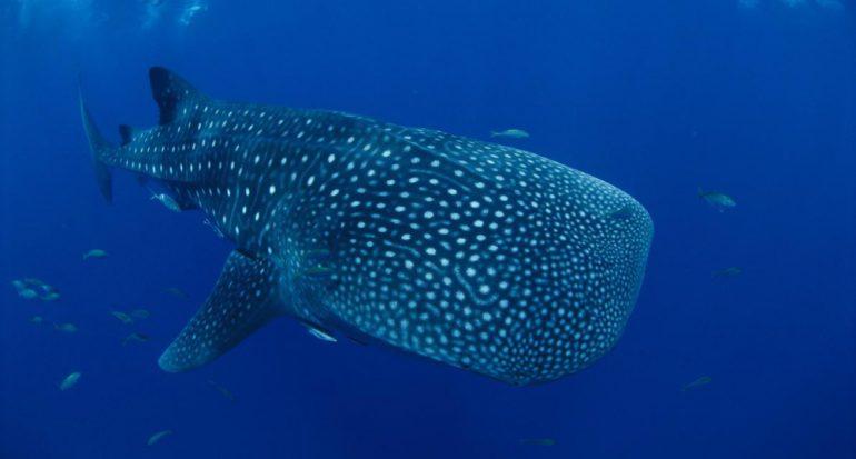 Desaparecen los tiburones ballena más grandes