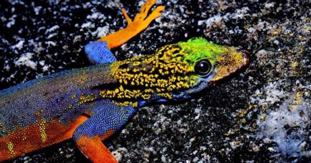Descubren dos nuevas especies de gecos