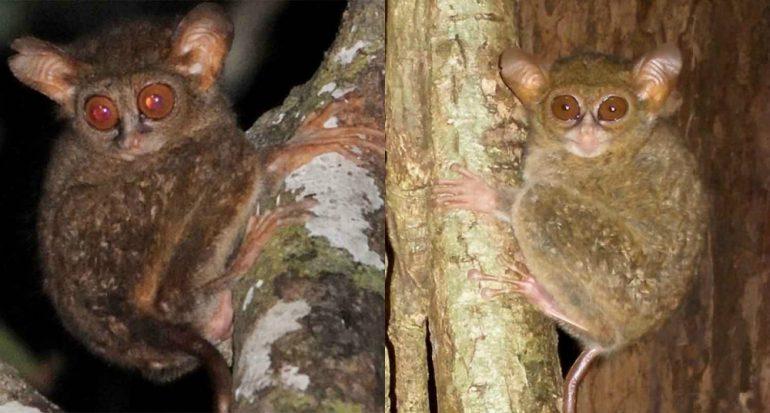 Descubren dos nuevas especies de tarsero en Indonesia