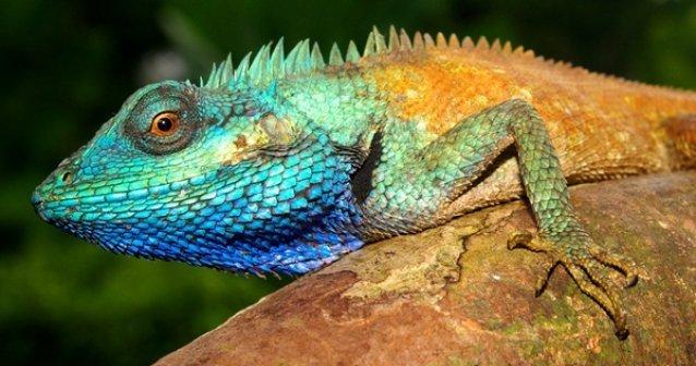 Descubren lagartija de colores en Vietnam