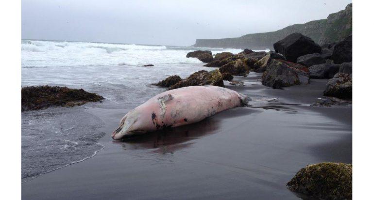Descubren misteriosa especie de cetáceo en Alaska