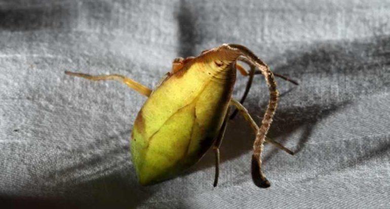 Descubren una nueva especie de araña que parece una hoja