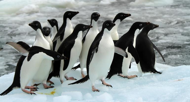 Descubren una súper colonia de 1.5 millones de pingüinos