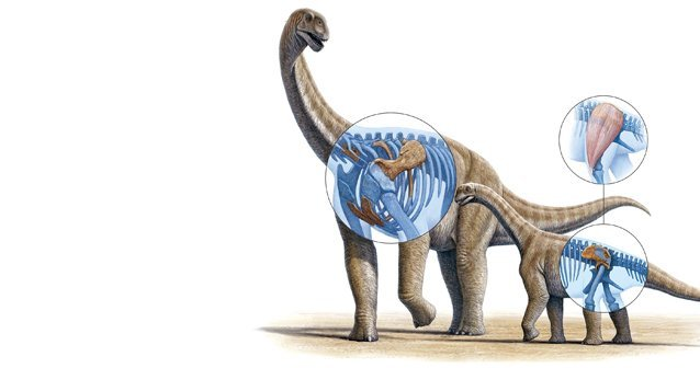 Dimensionando el saurópodo