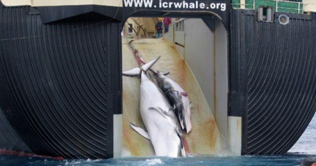 Dos tercios de los japoneses están a favor de la caza de ballenas