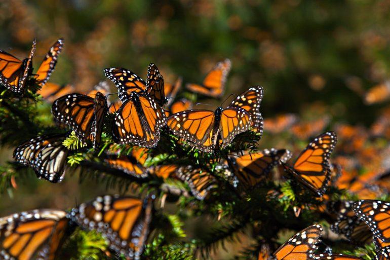 Efectos del cambio climático en mariposas monarca