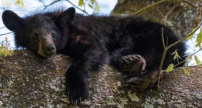 Ejemplares de oso negro fueron avistados en México