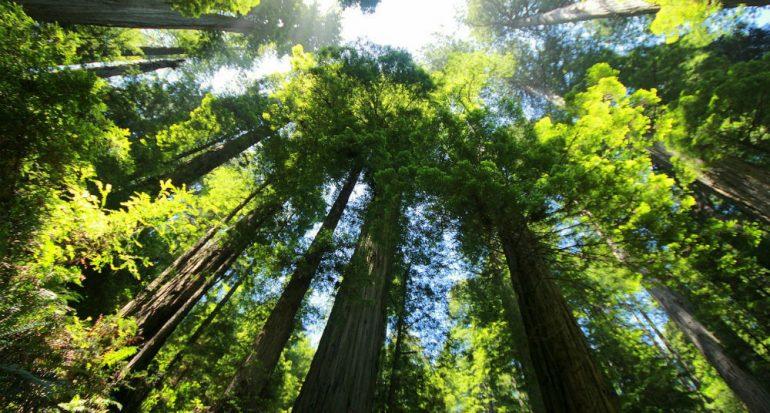 El árbol viviente más alto del mundo