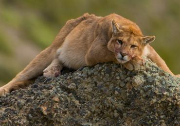 El 30 de agosto se conmemora el Día Internacional del Puma