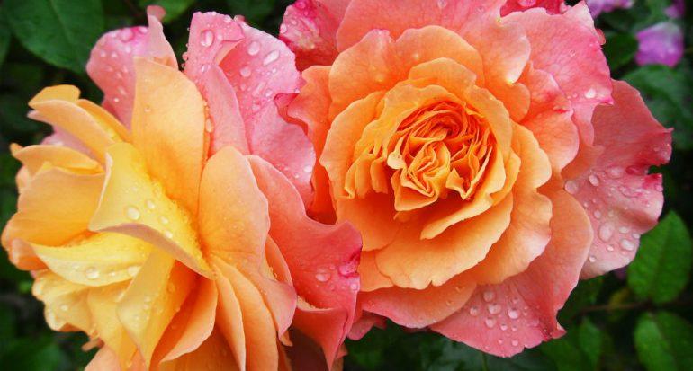 El amor y las rosas
