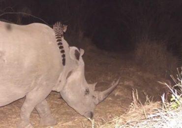 El animal que cabalga rinocerontes