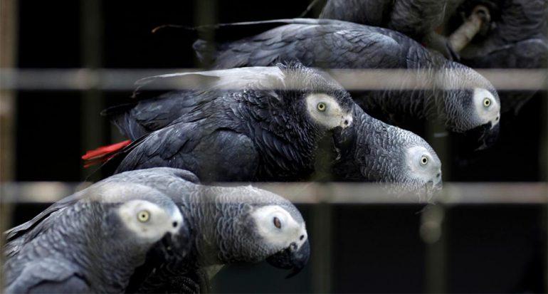 El ave parlante en decadencia