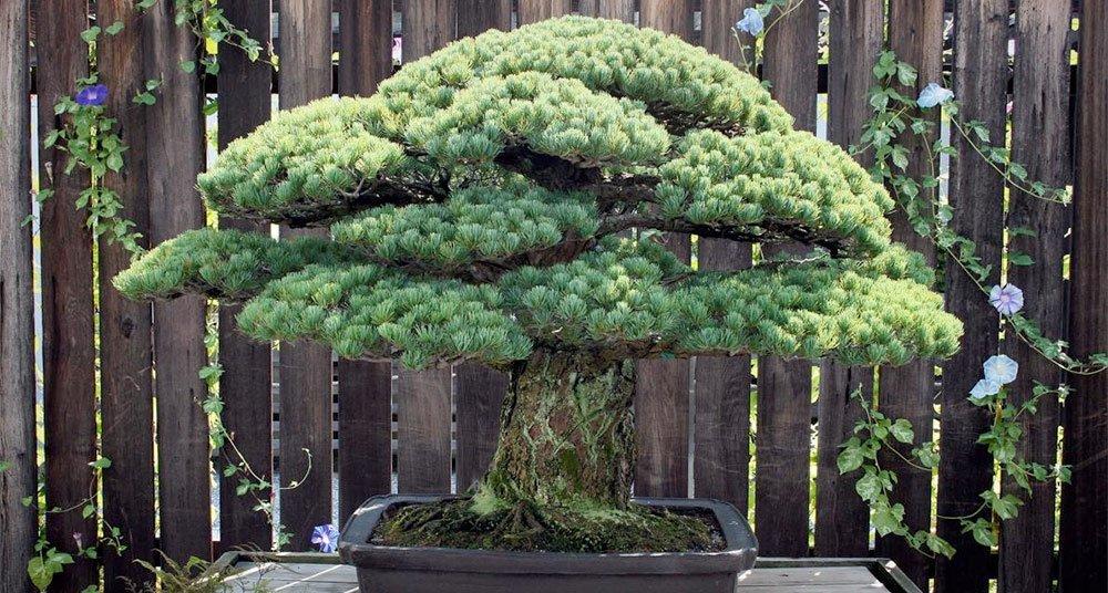 El bonsái que sobrevivió a Hiroshima
