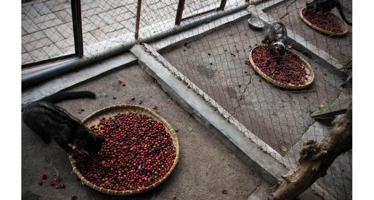 El café más costoso del mundo oculta un inquietante secreto