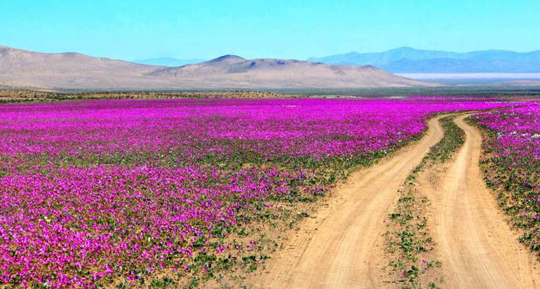 El desierto más árido del planeta se llena de vida