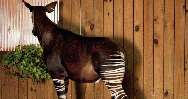 El escurridizo okapi