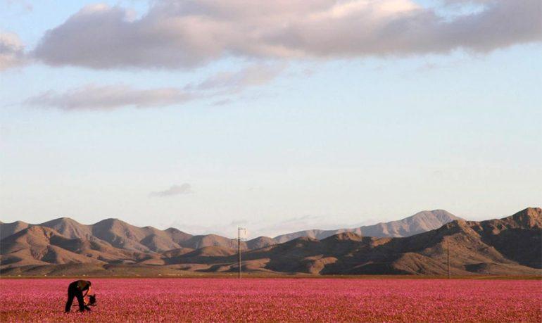 El fenómeno que ocurre cada 5 o 7 años en Atacama