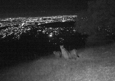 El impacto en la caza del puma