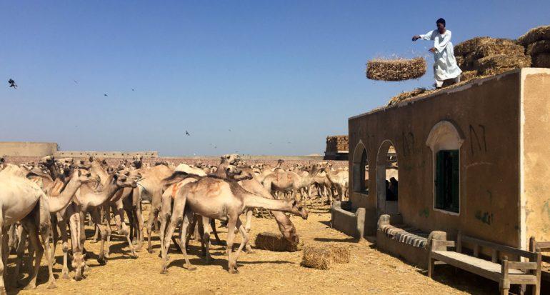 El infierno de los camellos