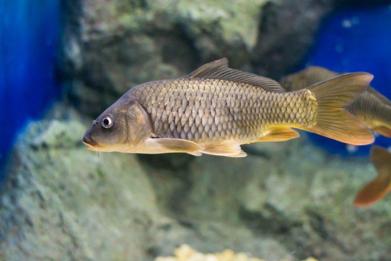 El pez de la sanación