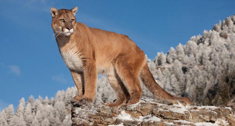 El puma del este de Norteamérica es declarado oficialmente extinto