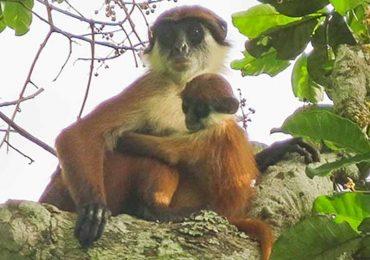 El raro mono africano