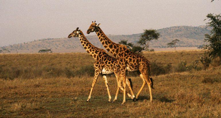 El safari más famoso