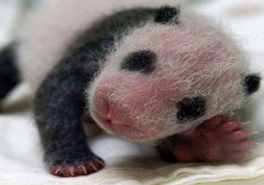 El sorprendente ciclo de vida del oso panda