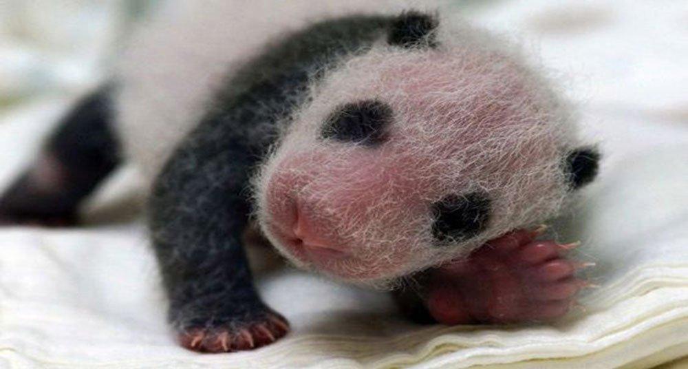 El sorprendente ciclo de vida del oso panda - National ...