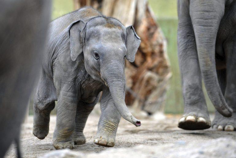 Elefantes africanos en peligro