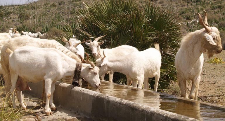 En este país hay una cabra por cada dos personas