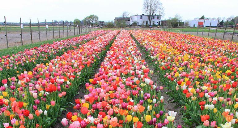 En la tierra de los tulipanes