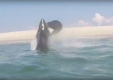 En video: gran tiburón blanco salta para capturar una foca