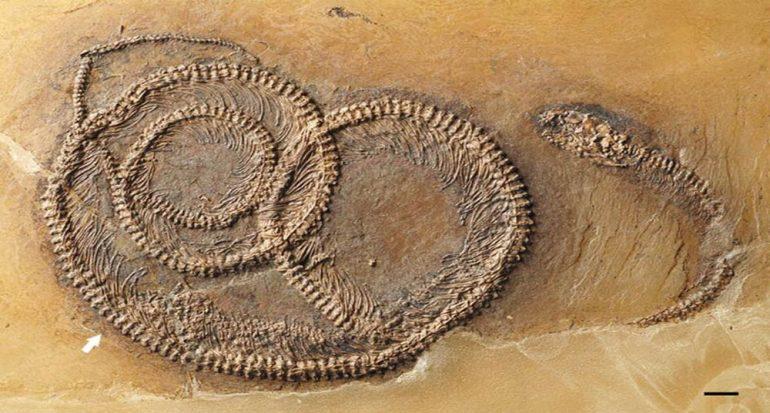 Encuentran fósil ?matrioska? de 48 millones de años